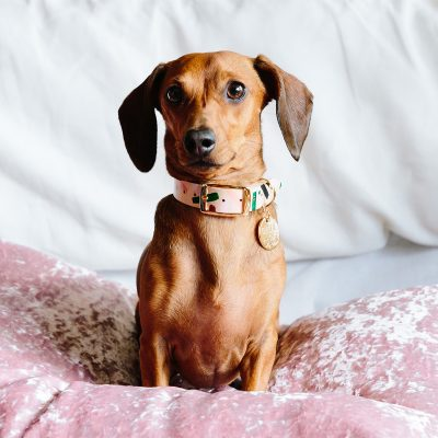 sausage dog modelling the Master Confetti Leather Dog Collar